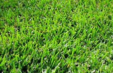 Photo of Bermuda grass