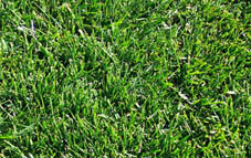 Cool weather grass photo Kentucky Bluegrass